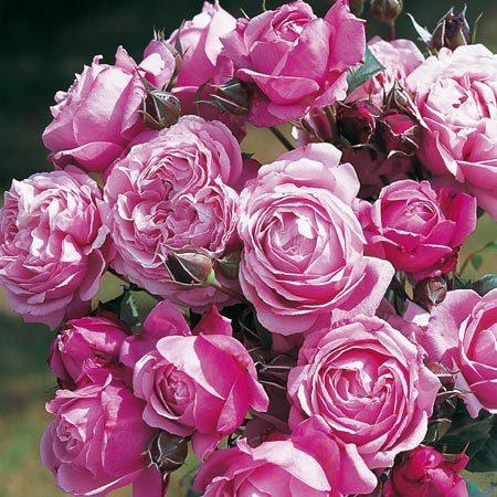 Collection Les Roses du Coeur