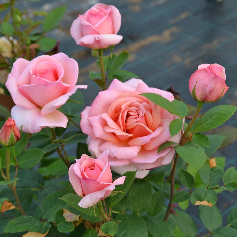 achat rosier tige belle du seigneur vente de nos cr ations et productions georges delbard. Black Bedroom Furniture Sets. Home Design Ideas