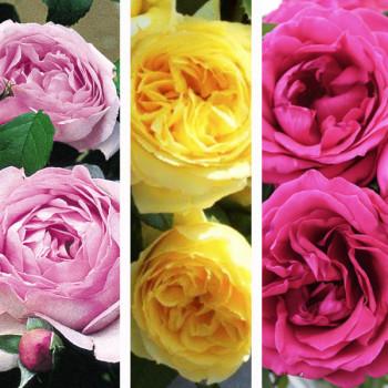 Collection rosiers Les Souvenirs d´Amours®