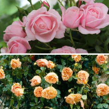 Collection Les Rosiers Grimpants Parfumés