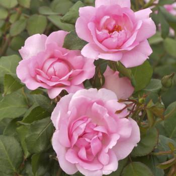 Rosier Grimpant Centenaire de Lourdes® Rose