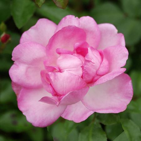 Rosier pleureur Centenaire de Lourdes® Rose