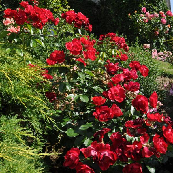 Rosier pleureur Centenaire de Lourdes® Rouge