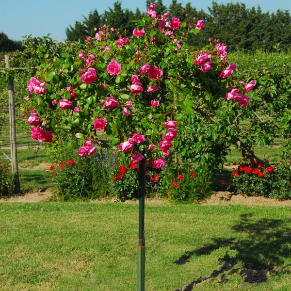 Rosier Centenaire de Lourdes® Rose Le rosier tige
