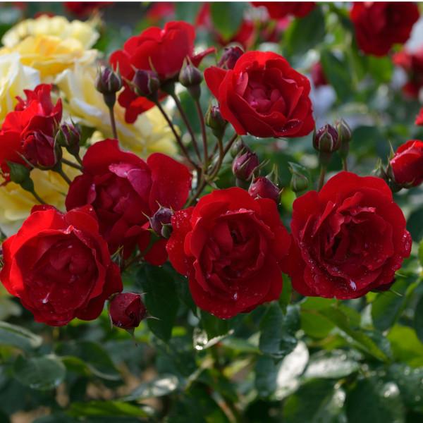 Rosier Centenaire de Lourdes® Rouge Le rosier tige