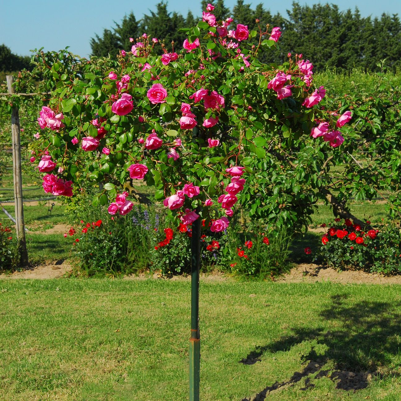 Achat Rosiers tige Centenaire de Lourdes® Rose-Vente de ...