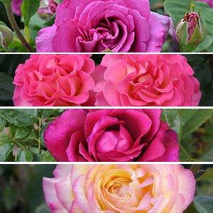 80 ans de Roses La collection
