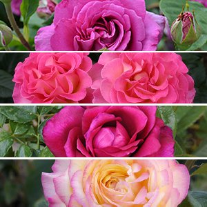 80 ans de Roses La collection