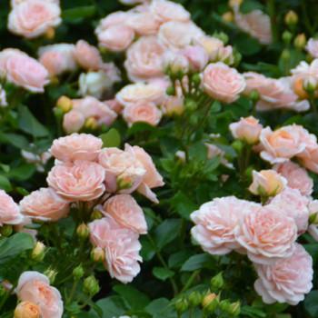 Les rosiers bordures