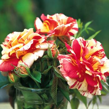 Les roses de peintres