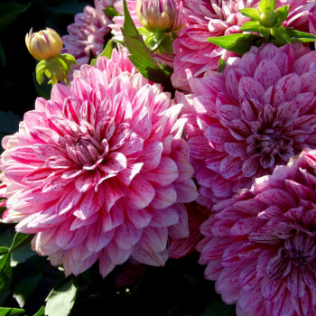 Dahlia nain Pink Eighties