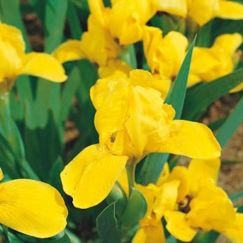 Iris nain Brassie