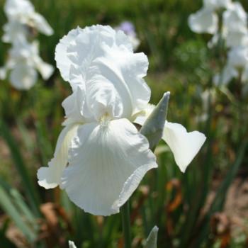 Iris Glacier