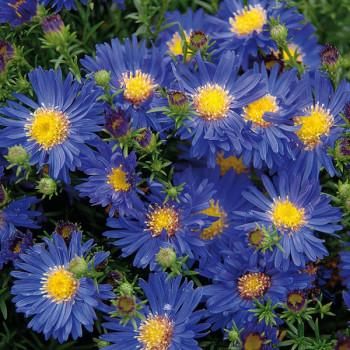 Aster 'Blue Lapis'