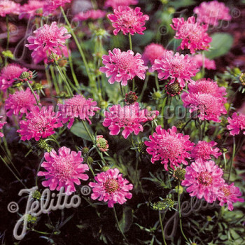 Scabiosa columbaria ´Pincushion Pink´