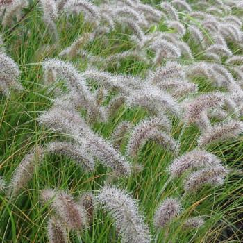 Pennisetum alopecuroides ´Compressum´