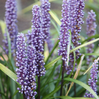 Liriope muscari ´Big Blue´