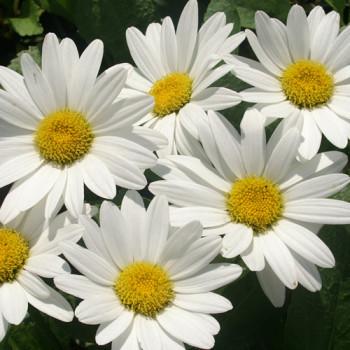 Leucanthemum ´Becky´ - Marguerite d´été