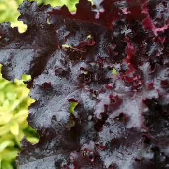 Heuchera ´Black Beauty´