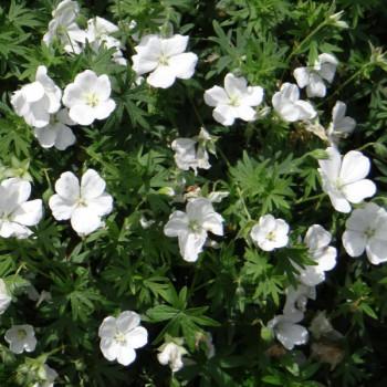 Geranium sanguineum ´Album´
